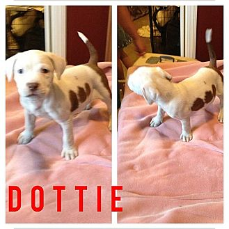 American Pit Bull Terrier Mix Puppy for adoption in Los Angeles, California - Dottie