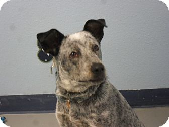 Blue Heeler Mix Puppy for adoption in Fort Lupton, Colorado - Bella