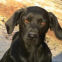 Labrador Retriever Mix Dog for adoption in Tyler, Texas - EM-Shadow