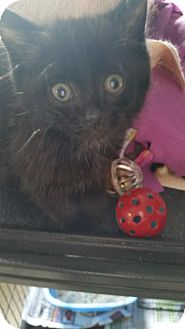 Domestic Shorthair Kitten for adoption in China, Michigan - Clarence