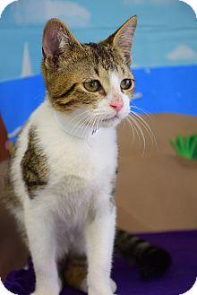 Domestic Shorthair Cat for adoption in Bradenton, Florida - Hal