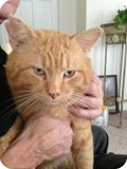 Domestic Shorthair Cat for adoption in Delmont, Pennsylvania - Vincent