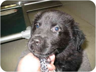 Newfoundland/Collie Mix Puppy for adoption in South Lake Tahoe, California - Dumpling