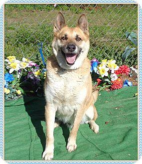 German Shepherd Dog Mix Dog for adoption in Marietta, Georgia - DAKOTA (R)