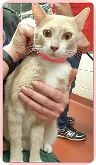 Domestic Shorthair Cat for adoption in Marietta, Georgia - PEACHES