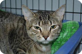 Domestic Shorthair Cat for adoption in Edwardsville, Illinois - Sasha