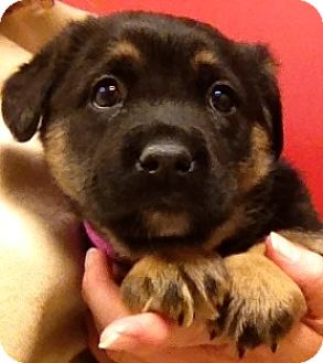 German Shepherd Dog Mix Puppy for adoption in Fairview Heights, Illinois - Marianne