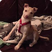 Adopt A Pet :: Honey - Santa Rosa, CA