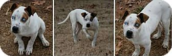 Hound (Unknown Type) Mix Puppy for adoption in Newcastle, Oklahoma - Beaudreau