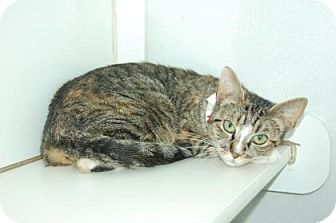 Domestic Shorthair Cat for adoption in Bradenton, Florida - Kris
