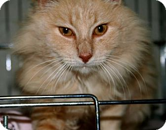 Domestic Longhair Cat for adoption in Erwin, Tennessee - Percy