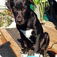 Adopt A Pet :: Chaz - Meridian, ID