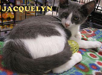 Domestic Shorthair Cat for adoption in Rosemead, California - Jacquelyn