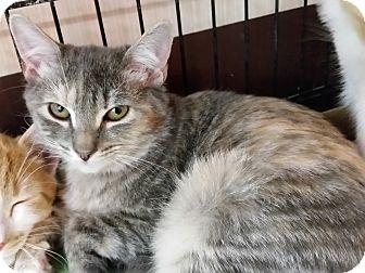Domestic Shorthair Kitten for adoption in Little Falls, New Jersey - Addison (KV)