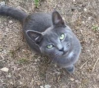 Domestic Shorthair Cat for adoption in Sedalia, Missouri - Lucy