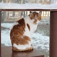Domestic Mediumhair Cat for adoption in Hampton Bays, New York - HELEN