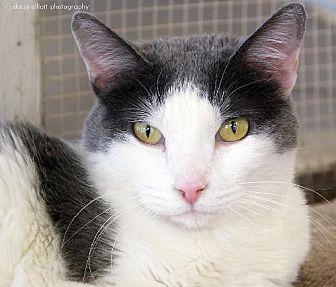 Domestic Shorthair Cat for adoption in Tucson, Arizona - Brandi