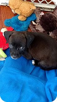 Boxer/Labrador Retriever Mix Puppy for adoption in Hammond, Louisiana - Athena
