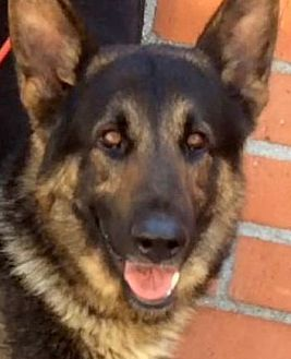 German Shepherd Dog Dog for adoption in Los Angeles, California - ZION (video)