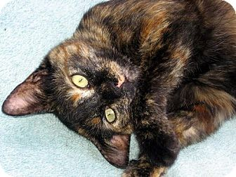 Domestic Shorthair Cat for adoption in Marlton, New Jersey - Cupcake