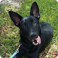 Adopt A Pet :: Ruger 0720 - Coral Springs, FL