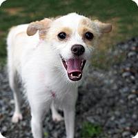 Adopt A Pet :: Bindi - Whitehall, PA