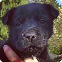 Adopt A Pet :: Border Collie X Puppies-Female - Kirkland, WA