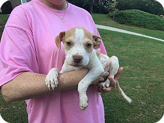 American Pit Bull Terrier Mix Puppy for adoption in Acworth, Georgia - Corabella