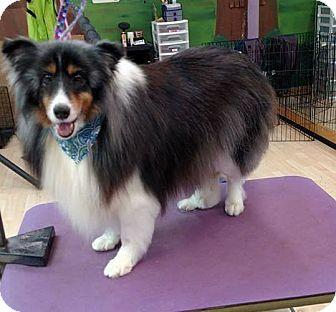 Sheltie, Shetland Sheepdog Dog for adoption in COLUMBUS, Ohio - Patches