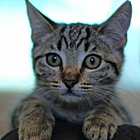 Adopt A Pet :: Sushi - Rancho Santa Fe, CA