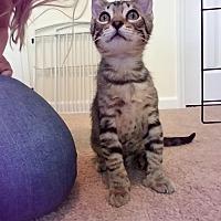 Adopt A Pet :: Achilles - Huntsville, AL