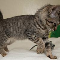 Adopt A Pet :: Buddy II - Fountain Hills, AZ
