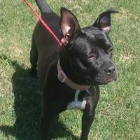 Adopt A Pet :: Becky - Ashtabula, OH