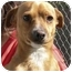 Photo 1 - Chihuahua Mix Dog for adoption in El Segundo, California - Yankee