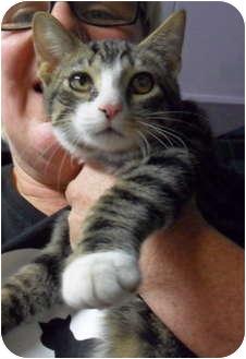 Polydactyl/Hemingway Kitten for adoption in Cincinnati, Ohio - Winter Alibi: H4TH, FREE!