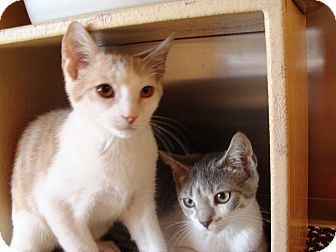 Domestic Shorthair Kitten for adoption in Albany, New York - Starsky and Hutch