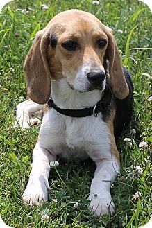 Beagle Dog for adoption in Buffalo, New York - Sadie B.