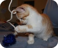 Domestic Mediumhair Kitten for adoption in Allentown, Pennsylvania - Tang ($200)