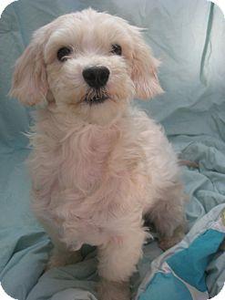 Maltese/Poodle (Miniature) Mix Dog for adoption in Irvine, California - SKITTER
