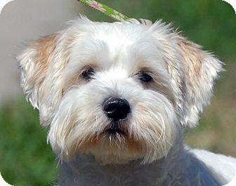 Lhasa Poo (Lhasa Apso-Poodle Mix) Info, Temperament ...  |Lhasa Dog Mix