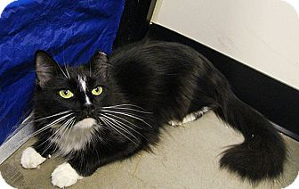 Domestic Mediumhair Cat for adoption in Worcester, Massachusetts - Maui