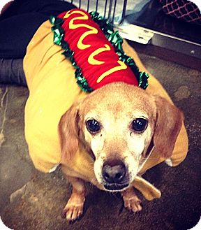 Dachshund Dog for adoption in Encino, California - Anabelle