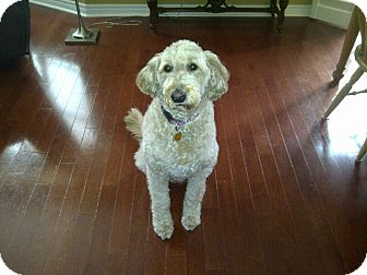 Poodle (Standard) Mix Dog for adoption in Caledon, Ontario - Molly