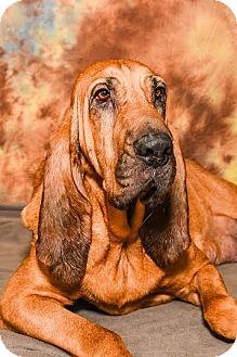 Bloodhound Dog for adoption in Cincinnati, Ohio - Duchess