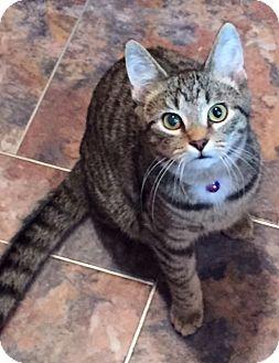 Domestic Shorthair Kitten for adoption in Richmond, Virginia - Peanut
