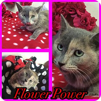 Domestic Shorthair Cat for adoption in Pahrump, Nevada - Flower Power