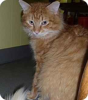 Domestic Longhair Cat for adoption in Hamburg, New York - Gorman