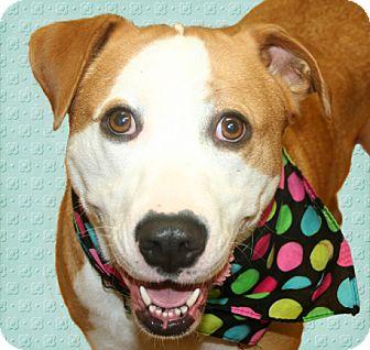 American Bulldog/Boxer Mix Dog for adoption in Cincinnati, Ohio - Momma