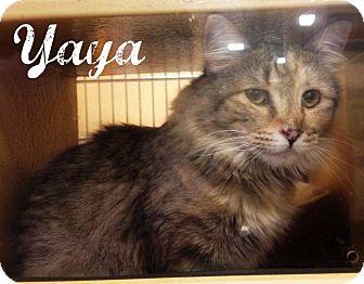 Domestic Longhair Kitten for adoption in Bentonville, Arkansas - Yaya