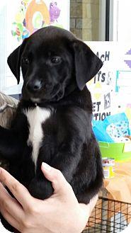 Labrador Retriever Mix Puppy for adoption in White Settlement, Texas - Josh